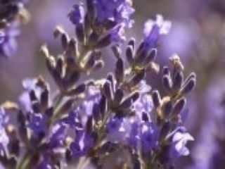 histoire de l'aromatherapie
